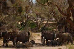 Elephant in savannah in Namibia. Herd of elephants in savannah in Namibia royalty free stock photography