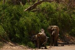 Elephant in savannah in Namibia. Herd of elephants in savannah in Namibia royalty free stock images