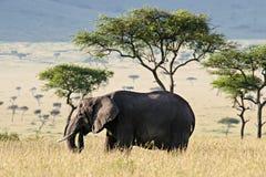 Elephant in the Savannah. Elephant walking through the Savannah in Massai Mara, Kenya stock photos