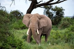An elephant in the savannh of a national park. An elephant in the savannah of a national park in Kenya stock images