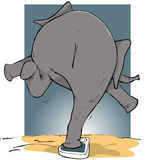 Overweight elephant. Elephant balancing on weighing scales Stock Photo
