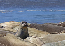 Elephant Seal. On the beach with herd Stock Photo
