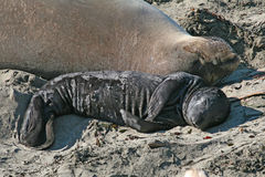 Elephant Seal. Mother and pup Royalty Free Stock Photography
