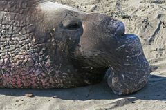 Elephant Seal. Portrait of elephant seal bull Royalty Free Stock Image
