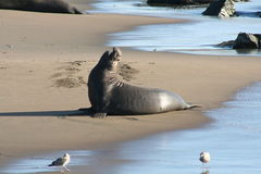 Elephant Seal. Male elephant seal on the California coast line Royalty Free Stock Images