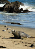 Elephant Seal. At Piedras Blancas, California, USA Royalty Free Stock Images