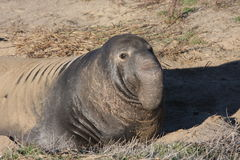 Elephant Seal. Large male elephant seal at a beach Royalty Free Stock Photography
