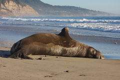 Elephant Seal. Large male elephant seal at a beach Royalty Free Stock Photo
