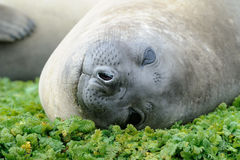 Elephant Seal. Relaxing on green mosses Stock Image