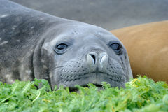 Elephant Seal. Relaxing on green mosses Stock Photo