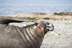 Free Elephant Seal Stock Images - 26486804