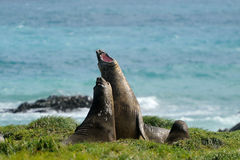 Elephant Seal. Two Elephant Seal fighting on beach Stock Photography