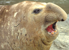 Elephant seal. South Georgia Royalty Free Stock Photo