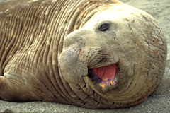 Elephant seal. South Georgia Royalty Free Stock Photography