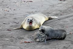 Elephant Seal and Antarctic Fur Seal, Antarctica Royalty Free Stock Image