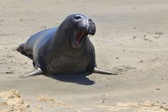 Elephant Seal Baby. A baby elephant seal on the beach in California Royalty Free Stock Images