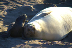Elephant Seal with Baby Stock Image