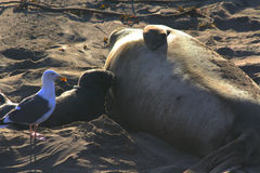 Elephant Seal with Baby Royalty Free Stock Photo