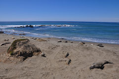 Elephant Seal Beach Stock Photography