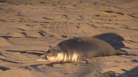 Elephant Seal stock video footage