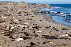 Elephant Seal Beach Royalty Free Stock Photos