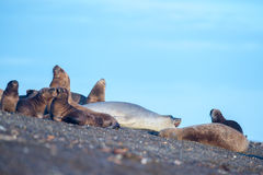 Elephant seal  on the beach in patagonia Royalty Free Stock Photos