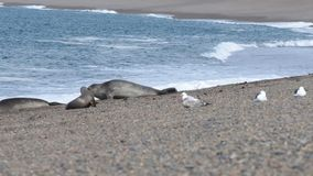 Elephant seal  on the beach in patagonia stock footage