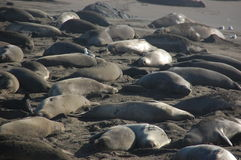 Elephant Seal Beach Stock Images