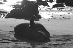 Elephant Seal on Beach Royalty Free Stock Photos