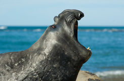 Elephant seal bellowing Stock Photography
