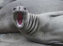 Elephant seal bellowing,piedras blancas,california Royalty Free Stock Photos