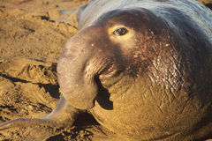 Elephant Seal Bull On Beach Royalty Free Stock Photo