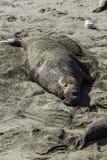 Elephant Seal Bull Resting Stock Image