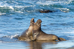 Elephant Seal bulls fighting on beach. Two male bull elephant seals fighting on the beach in Central California. The bulls engage in fights of supremacy to Stock Image