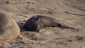 Elephant Seal Calf on the Beach stock footage