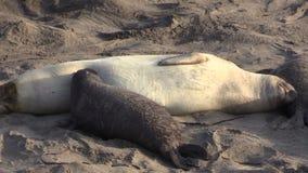 Elephant Seal Calf Nursing stock video footage