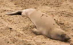 Elephant Seal, California Royalty Free Stock Photo