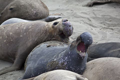 Elephant Seal Colony Stock Photos