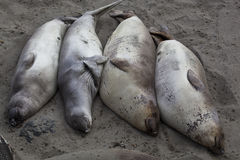 Elephant Seal Colony Royalty Free Stock Photography