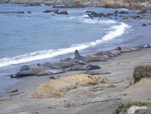 Elephant Seal colony. On the beach in Big Sur. California, USA royalty free stock images