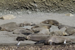 Elephant Seal Colony California Stock Photography