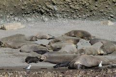 Elephant Seal Colony California. Elephant Seal Colony in Coronado Islands Southern California, art o Mexico. Five pups can be seen with dark fur Stock Photography