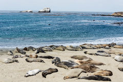 Elephant seal colony Royalty Free Stock Image