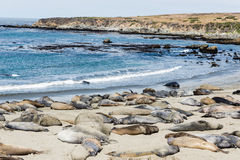 Elephant seal colony Royalty Free Stock Photos