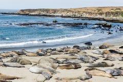 Elephant seal colony Royalty Free Stock Photos
