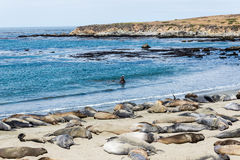 Elephant seal colony. California Central coast north of Cambria - elephant seal colony royalty free stock images