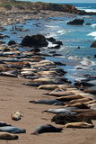 Elephant Seal Colony at Point Piedras Blancas north of San Simeon on the Central Coast of California. USA royalty free stock photo