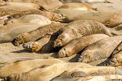 Elephant seal colony rests in the sun on the beach. Near the Pacific Ocean in California, USA royalty free stock images