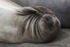 Elephant seal covers his eye with flipper Royalty Free Stock Photos