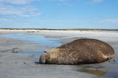 Elephant Seal - Falkland Islands Royalty Free Stock Image